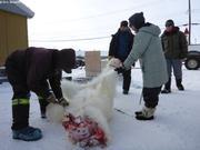 Depecage ours chasse pres du camp de glace de GreenEdge