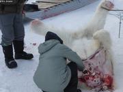 Depecage jeune male ours a Qikiqtarjuaq