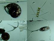 Plancton de janvier sous la banquise