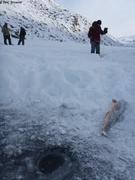 Omble arctique