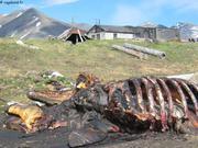 Baleine et cache a viande a Novotchaplino
