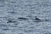 Narvals fiord Tingin
