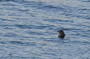 Phoque fiord Tingin