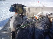 Larry donne a boire au troisieme phoque attrappe