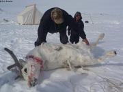 Caribou attrape par Raymond