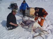 Depecage caribou par Raymond et Eric