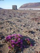 Saxifrages et cabane de Fram Fiord ©EB