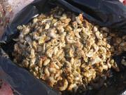 Crevettes et palourdes dans l'estomac du gros morse ©EB