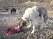 Les chiens mangent tous les 2 ou 3 jours ©EB