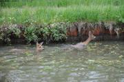 Deux chevreuils cherchent a sortir du canal