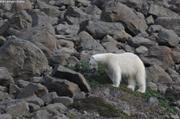Ours de la baie des Vikings