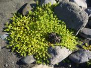 Verdure sur basalte