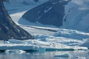 Glacier Mohn