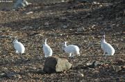 Lievres arctiques Thule