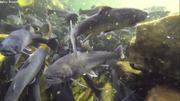 Beaucoup de poissons dans la riviere Ilua a Ipiutaq