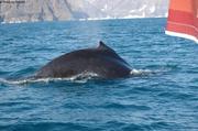 Baleine sonde
