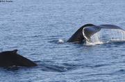 Baleines sondent