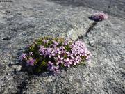 Roche en fleurs