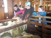 Biberons pour les agneaux