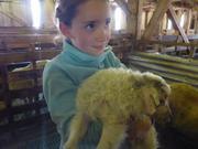 Aurore agneau Ipiutaq