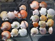 Collection de coquilles