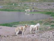 Chiens a Qeqertarssuaq village inhabite