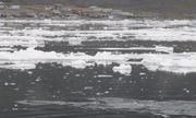 Narvals devant Grise Fiord