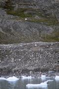 Ours fiord du Cap Sud