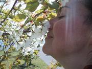 Cerisiers France