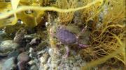 Beaucoup de crabes a Miquelon