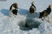 chiens observent phoque
