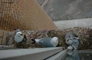 Mouettes tridactyles Pyramiden