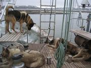 chiens sur le pont