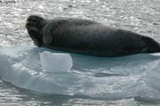 Barbu on ice