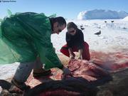 Depecage cadavre phoque de Weddell