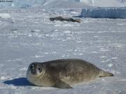 Jeune phoque de Weddell
