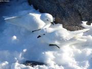 Couple petrels des neiges2