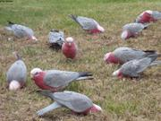 Pigeons de Hobart