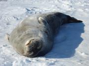 Phoque de Weddell au soleil