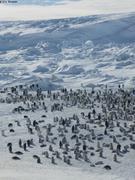 Colonie manchots empereurs et continent Antarctique