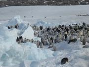 Manchots empereurs entre blocs de glace